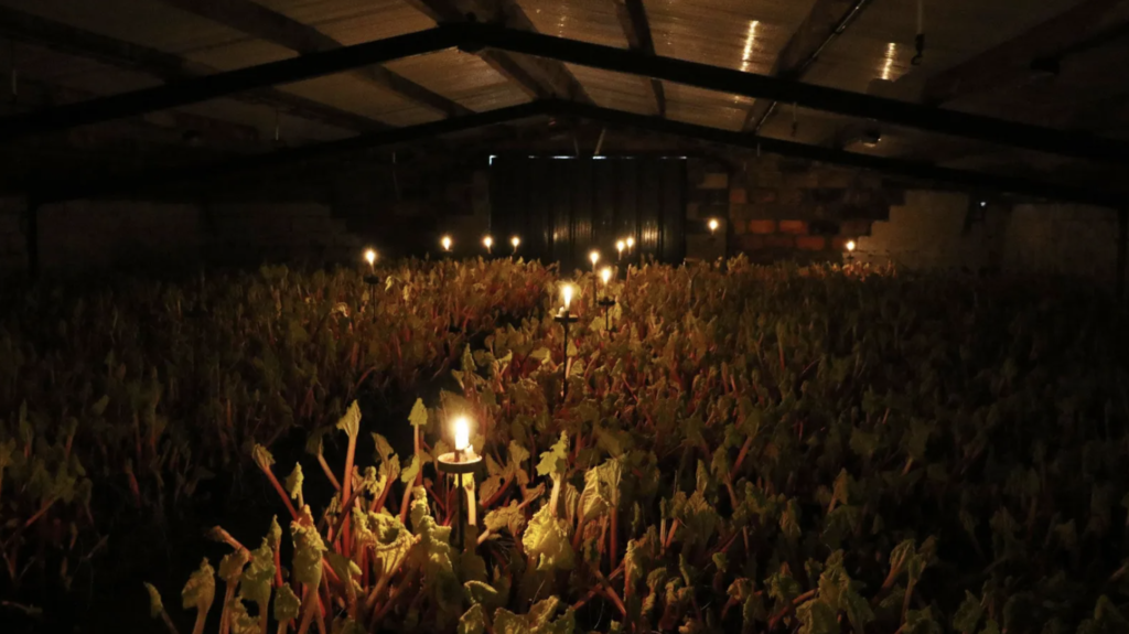 forcing rhubarb- harvesting in candlelight